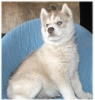 Siberian Husky, 5 weeks and up, ALL